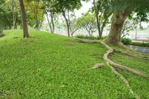Tree roots are a common culprit when dealing with sewage and septic backups | Sewage backup cleaning services by A&J Specialty Services Inc DKI of Madison, Middleton, Sun Prairie, Waunakee, Milwaukee, WI Dells, Fort Atkinson, Watertown, and Waukesha, Wisconsin
