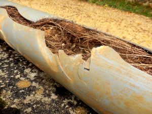 sewer damage can be caused by tree roots in the summer   A&J-Property-Restoration-DKI-water-fire-sewage-mold-services-home-business-Madison-Sun-Prairie-Portage-Milwaukee-WI-Dells-Fort-Atkinson-Watertown-Waukesha-Wisconsin